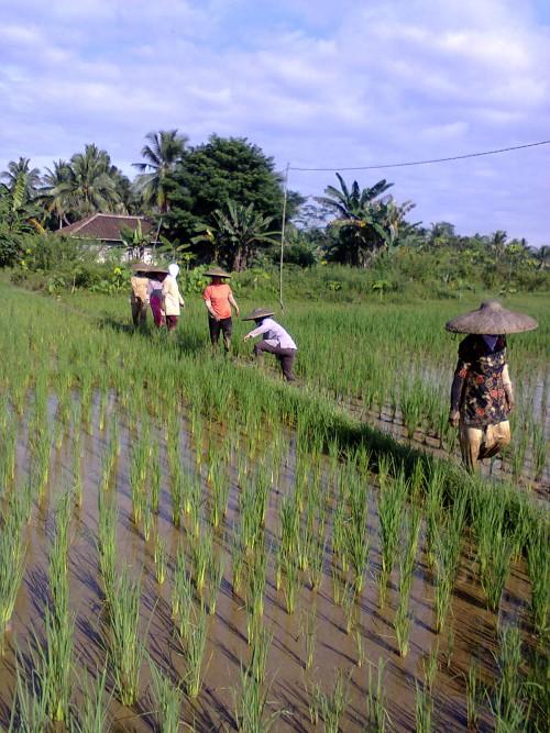 Kegiatan Pemantauan Pengamatan Hama di Desa Setu